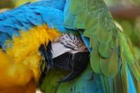 embarrassed-macaw